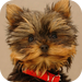 Yorkshire Terrier Book